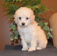 Cockapoo Puppies for sale in Chicago, IL, USA. price: NA