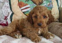 Cockapoo Puppies for sale in Santa Monica, CA, USA. price: NA