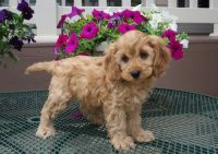 Cockapoo Puppies for sale in Fargo, ND, USA. price: NA
