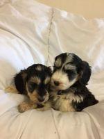 Cockapoo Puppies for sale in Victoria, TX, USA. price: NA