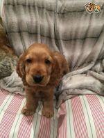 Cockapoo Puppies for sale in NJ-10, Randolph, NJ, USA. price: NA