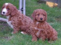 Cockapoo Puppies for sale in Mapaville, MO 63050, USA. price: NA