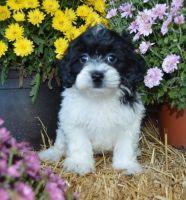 Cockapoo Puppies for sale in Bossier City, LA, USA. price: NA
