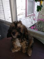 Cockapoo Puppies for sale in Lakeland, FL, USA. price: NA