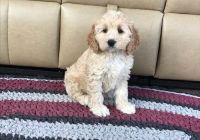 Cockapoo Puppies for sale in Ellicott City, MD, USA. price: NA