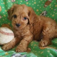 Cockapoo Puppies for sale in Roderfield, WV 24828, USA. price: NA