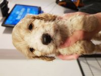 Cockapoo Puppies for sale in Waco, TX, USA. price: NA