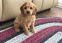 Cockapoo Puppies for sale in Bowman, SC 29018, USA. price: NA