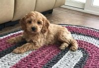 Cockapoo Puppies for sale in Wilmar, AR 71675, USA. price: NA