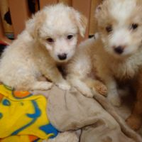 Cockapoo Puppies for sale in Gilroy, CA 95020, USA. price: NA