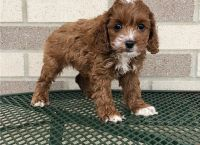 Cockapoo Puppies for sale in Columbus, OH 43085, USA. price: NA