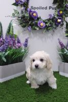 Cockapoo Puppies for sale in Las Vegas, NV 89178, USA. price: NA