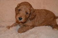Cockapoo Puppies for sale in 2018 Elizabeth St, Springfield, IL 62702, USA. price: NA