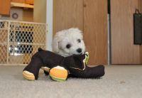 Cockapoo Puppies for sale in Norfolk, VA, USA. price: NA