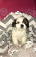 Cockapoo Puppies for sale in Dayton, OH, USA. price: NA