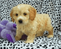 Cockapoo Puppies for sale in Brooklyn, NY, USA. price: NA