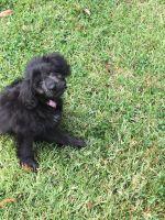 Cockapoo Puppies for sale in Covington, LA, USA. price: NA