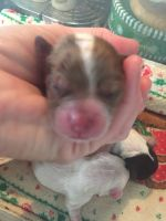 Cockapoo Puppies for sale in Poplarville, MS 39470, USA. price: NA