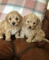 Cockapoo Puppies for sale in Texas City, TX, USA. price: NA