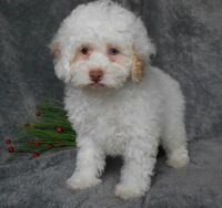 Cockapoo Puppies for sale in Louisville, KY 40221, USA. price: NA