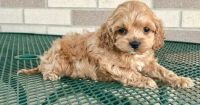 Cockapoo Puppies for sale in Worcester, MA 01608, USA. price: NA