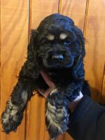 Cockapoo Puppies for sale in Martinsville, IN 46151, USA. price: NA