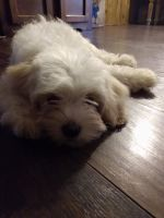 Cockapoo Puppies for sale in New Waterford, OH 44445, USA. price: NA