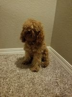 Cockapoo Puppies for sale in Colorado Springs, CO, USA. price: NA