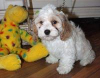 Cockapoo Puppies for sale in South Bend, IN 46628, USA. price: NA
