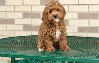 Cockapoo Puppies for sale in Hartford, CT 06104, USA. price: NA