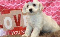 Cockapoo Puppies for sale in Detroit, MI 48227, USA. price: NA