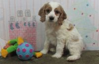 Cockapoo Puppies for sale in Phoenix, AZ 85024, USA. price: NA
