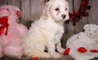 Cockapoo Puppies for sale in Birmingham, AL 35232, USA. price: NA