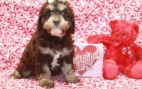 Cockapoo Puppies for sale in Brooklyn, NY 11238, USA. price: NA