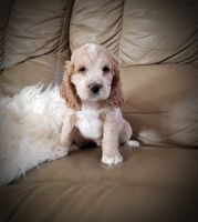 Cockapoo Puppies for sale in Reading, PA, USA. price: NA