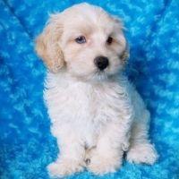 Cockapoo Puppies for sale in Newark, NJ, USA. price: NA