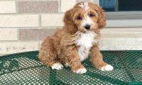 Cockapoo Puppies for sale in Mobile, AL 36641, USA. price: NA