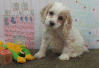 Cockapoo Puppies for sale in North Providence, RI 02908, USA. price: NA