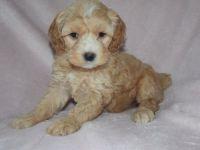 Cockapoo Puppies for sale in Abbeville, SC 29620, USA. price: NA