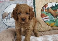 Cockapoo Puppies for sale in Gillette, WY, USA. price: NA