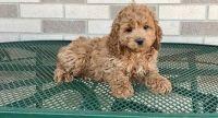 Cockapoo Puppies for sale in Boston, MA, USA. price: NA