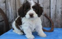 Cockapoo Puppies for sale in Houston, TX, USA. price: NA