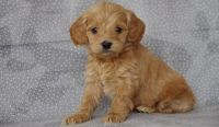 Cockapoo Puppies for sale in Las Cruces, NM, USA. price: NA