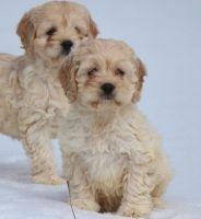 Cockapoo Puppies for sale in Saginaw, MI, USA. price: NA