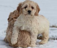 Cockapoo Puppies for sale in Knoxville, TN, USA. price: NA