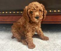 Cockapoo Puppies for sale in Phoenix, AZ 85078, USA. price: NA