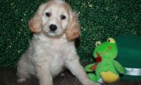 Cockapoo Puppies for sale in Milwaukee, WI 53263, USA. price: NA