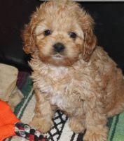 Cockapoo Puppies for sale in New Orleans, LA 70175, USA. price: NA
