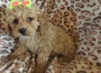 Cockapoo Puppies for sale in Sterling, VA, USA. price: NA
