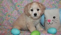 Cockapoo Puppies for sale in Milwaukee, WI, USA. price: NA
